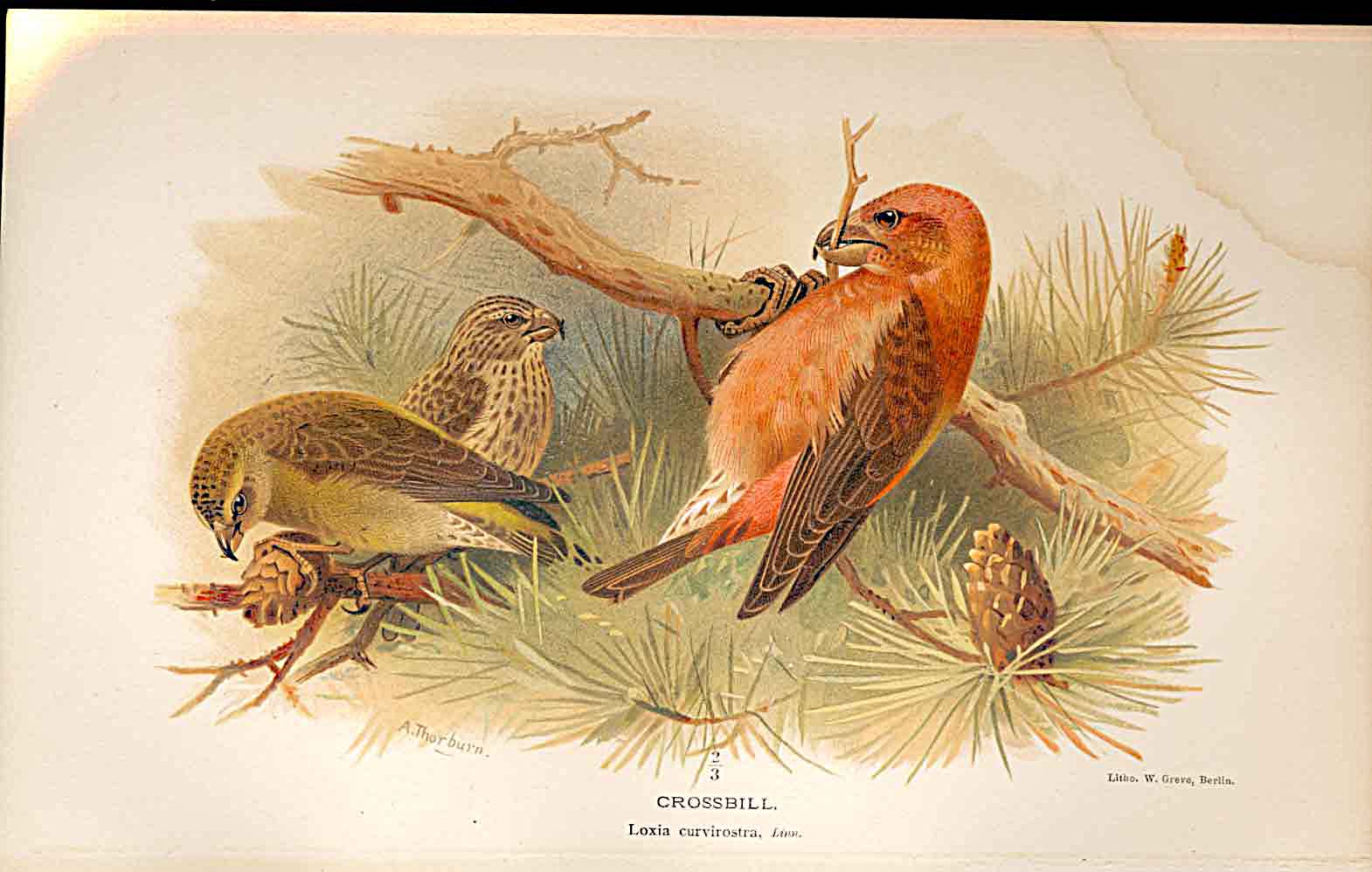 Print Crossbill Lilfords Birds 1885-97 By A Thorburn 369011 Old Original