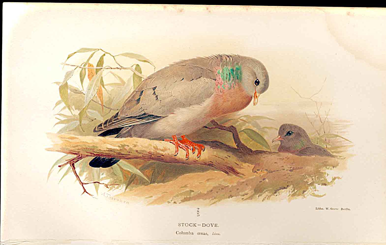 Print Stock Dove Lilfords Birds 1885-97 By A Thorburn 399011 Old Original