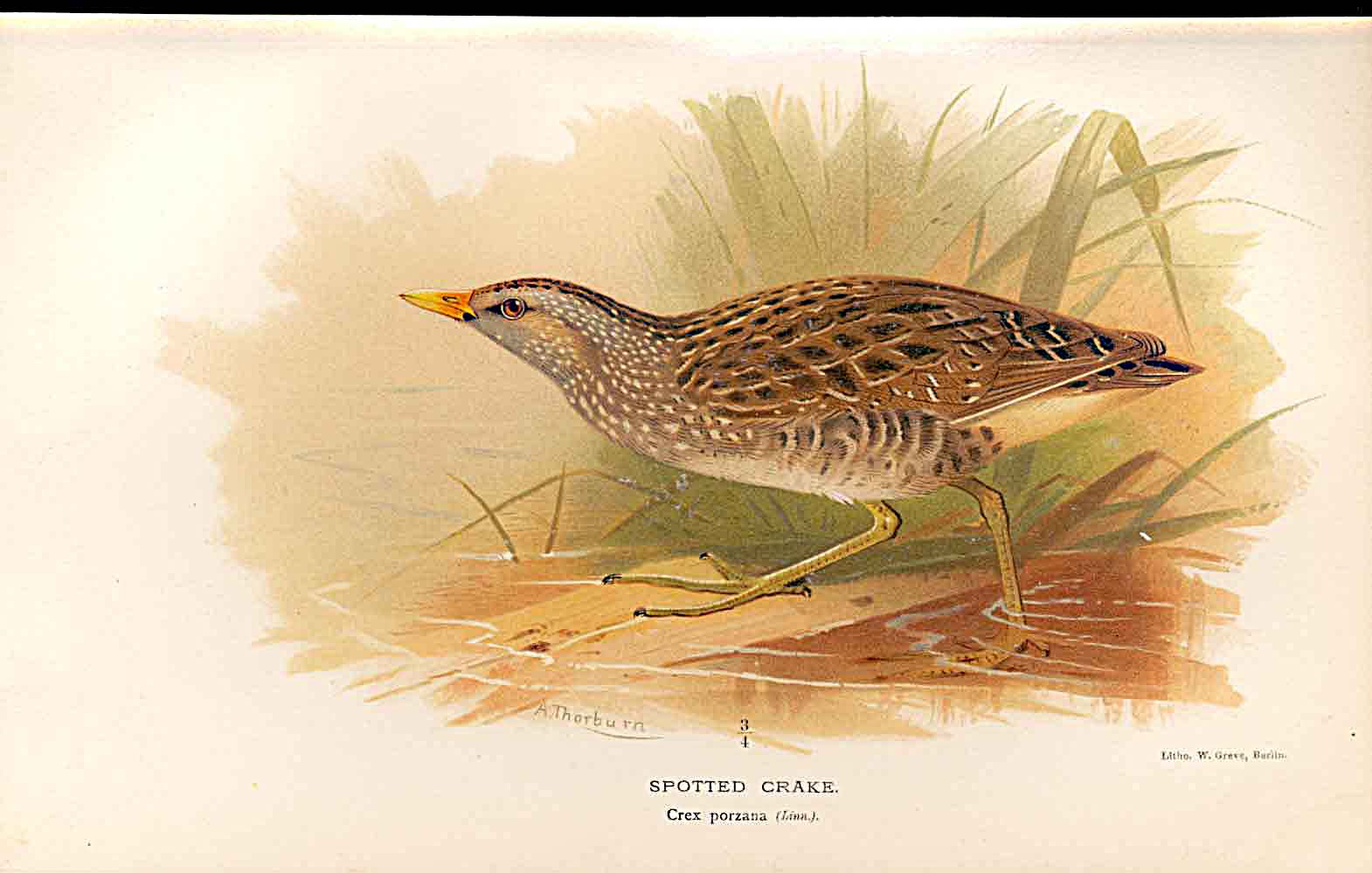 Print Spotted Crake Lilfords Birds 1885-97 By A Thorburn 559011 Old Original