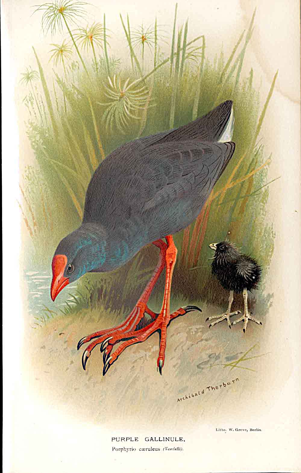 Print Purple Gallinule Lilfords Birds 1885-97 By A Thorburn 619011 Old Original