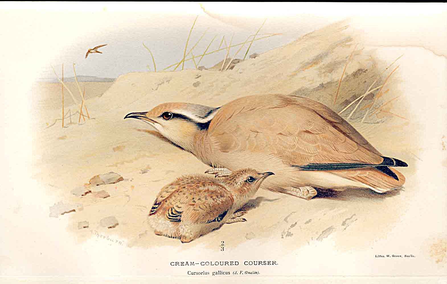 Print Cream Coloured Courser By Thorburn Birds 1855-97 069011 Old Original