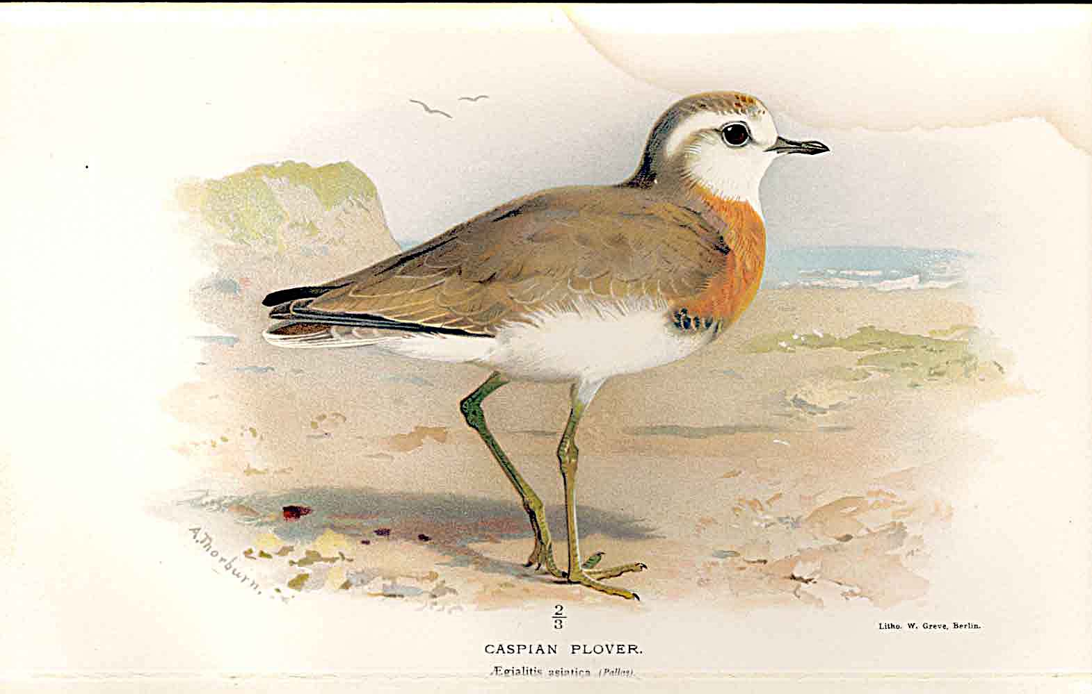 Print Caspian Plover Lilfords Birds 1885-97 By A Thorburn 099011 Old Original