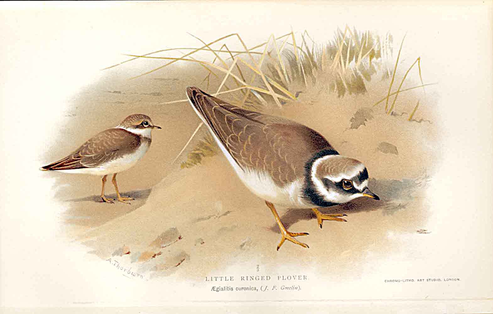 Print Little Ringed Plover By Thorburn Birds 1855-97 129011 Old Original