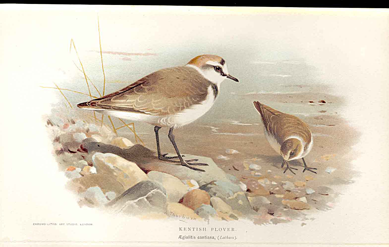 Print Kentish Plover Lilfords Birds 1885-97 By A Thorburn 139011 Old Original