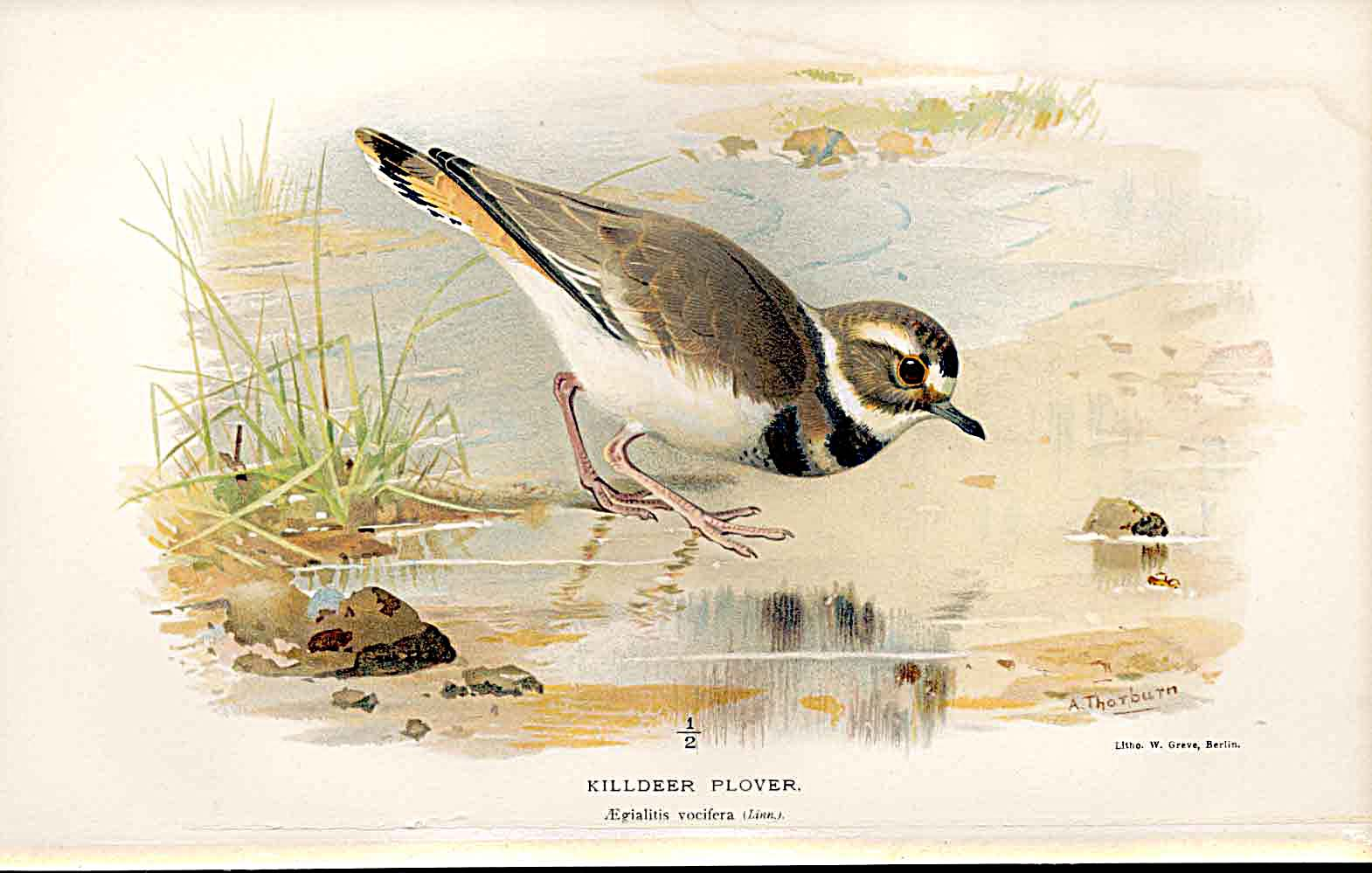 Print Killdeer Plover Lilfords Birds 1885-97 By A Thorburn 149011 Old Original