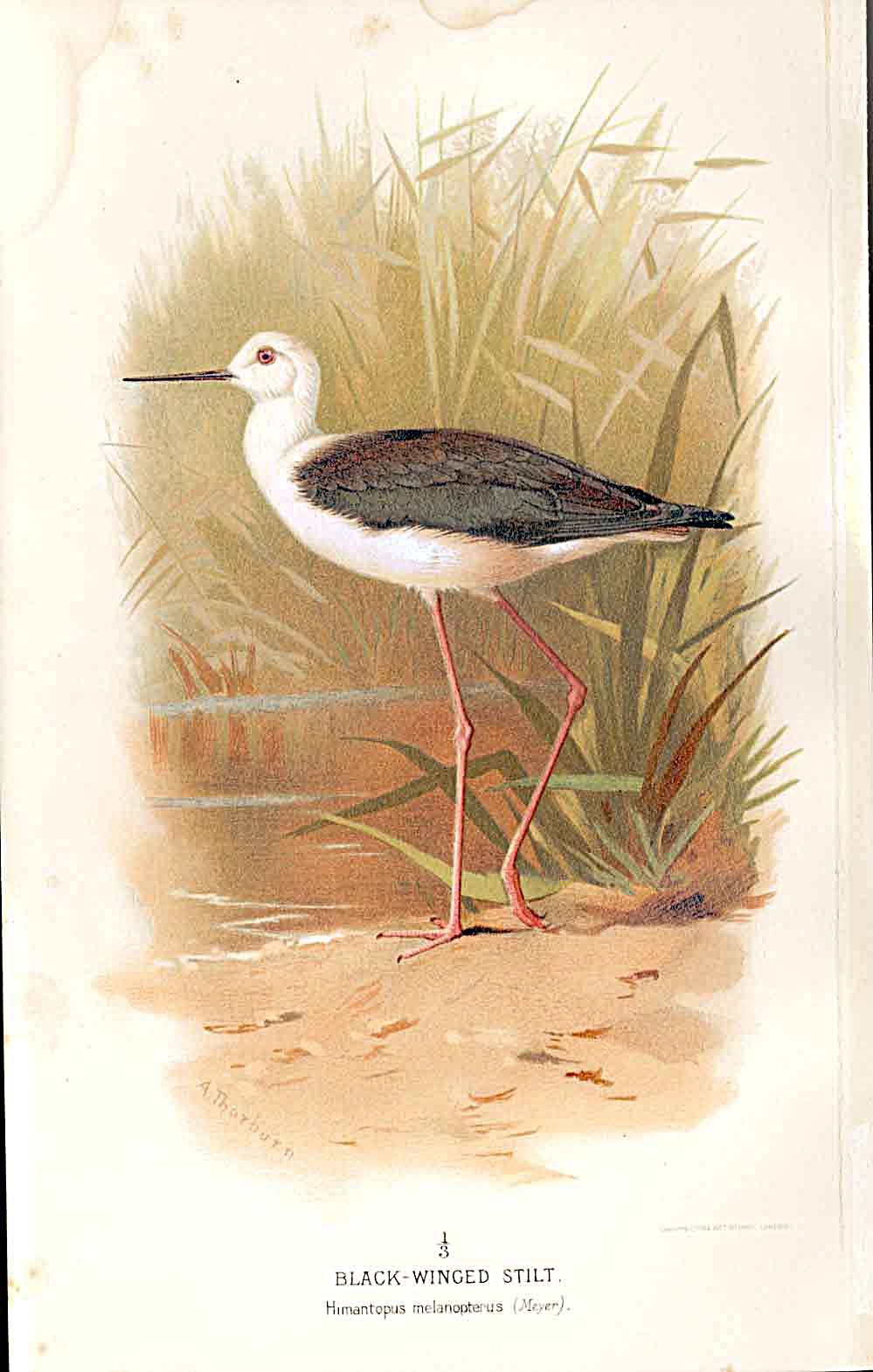 Print Avocet Lilfords Birds 1885-97 By A Thorburn 219011 Old Original