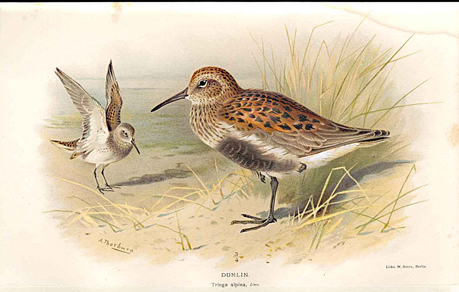 Print Dunlin Lilfords Birds 1885-97 By A Thorburn 359011 Old Original