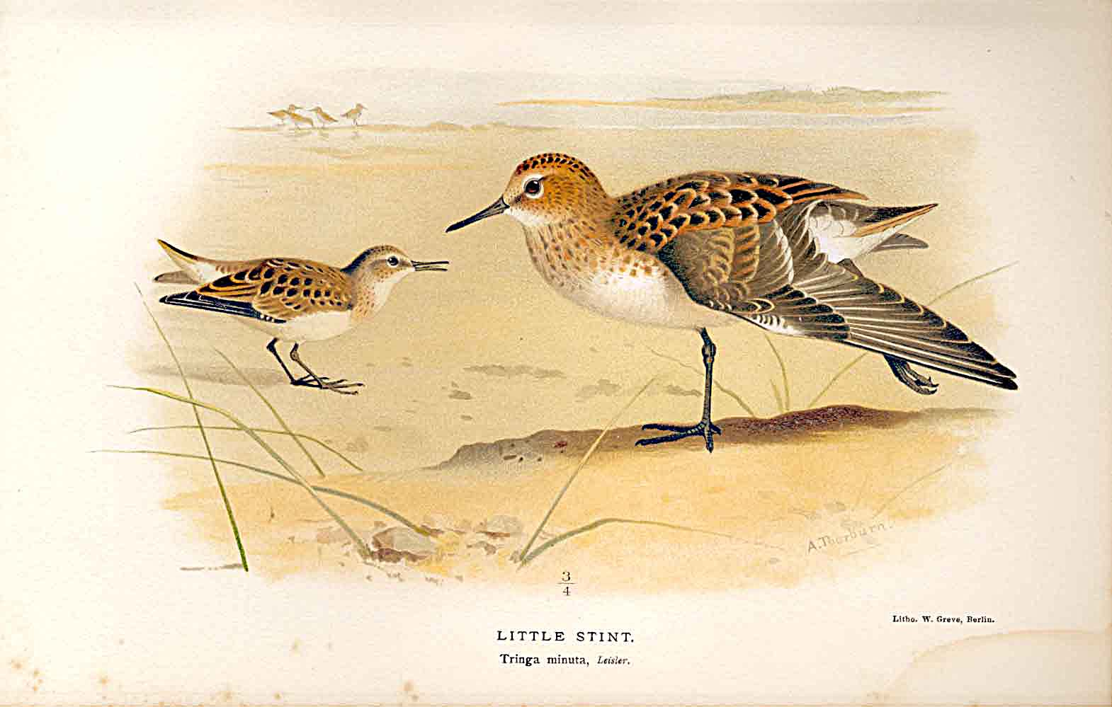 Print Little Stint Lilfords Birds 1885-97 By A Thorburn 369011 Old Original