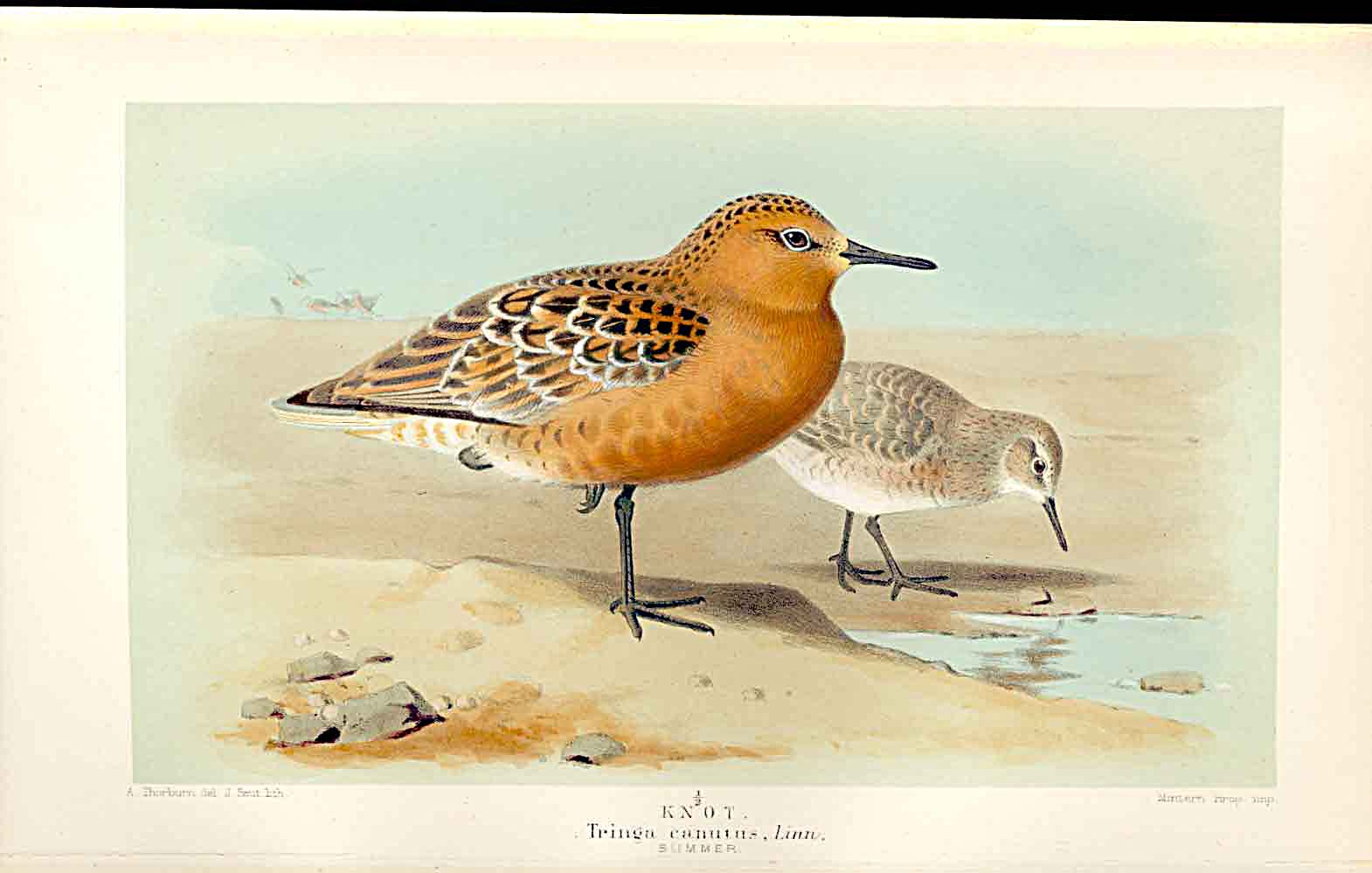 Print Knot Summer Lilfords Birds 1885-97 By A Thorburn 419011 Old Original