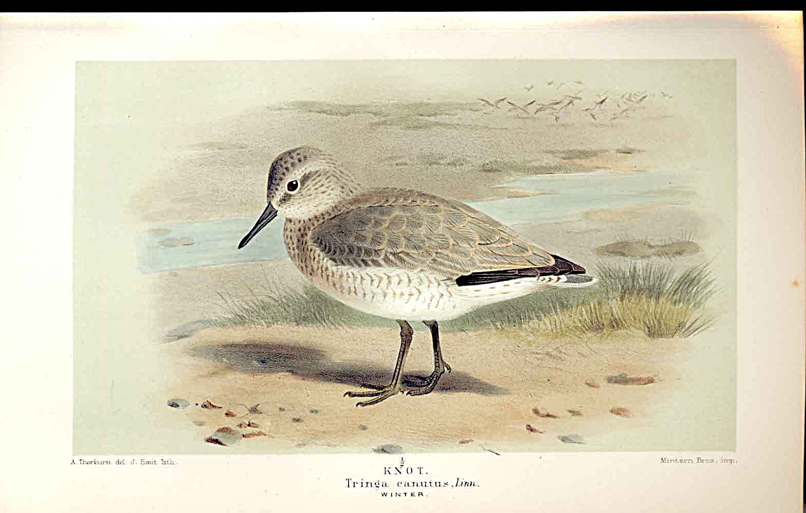 Print Knot Winter Lilfords Birds 1885-97 By A Thorburn 429011 Old Original