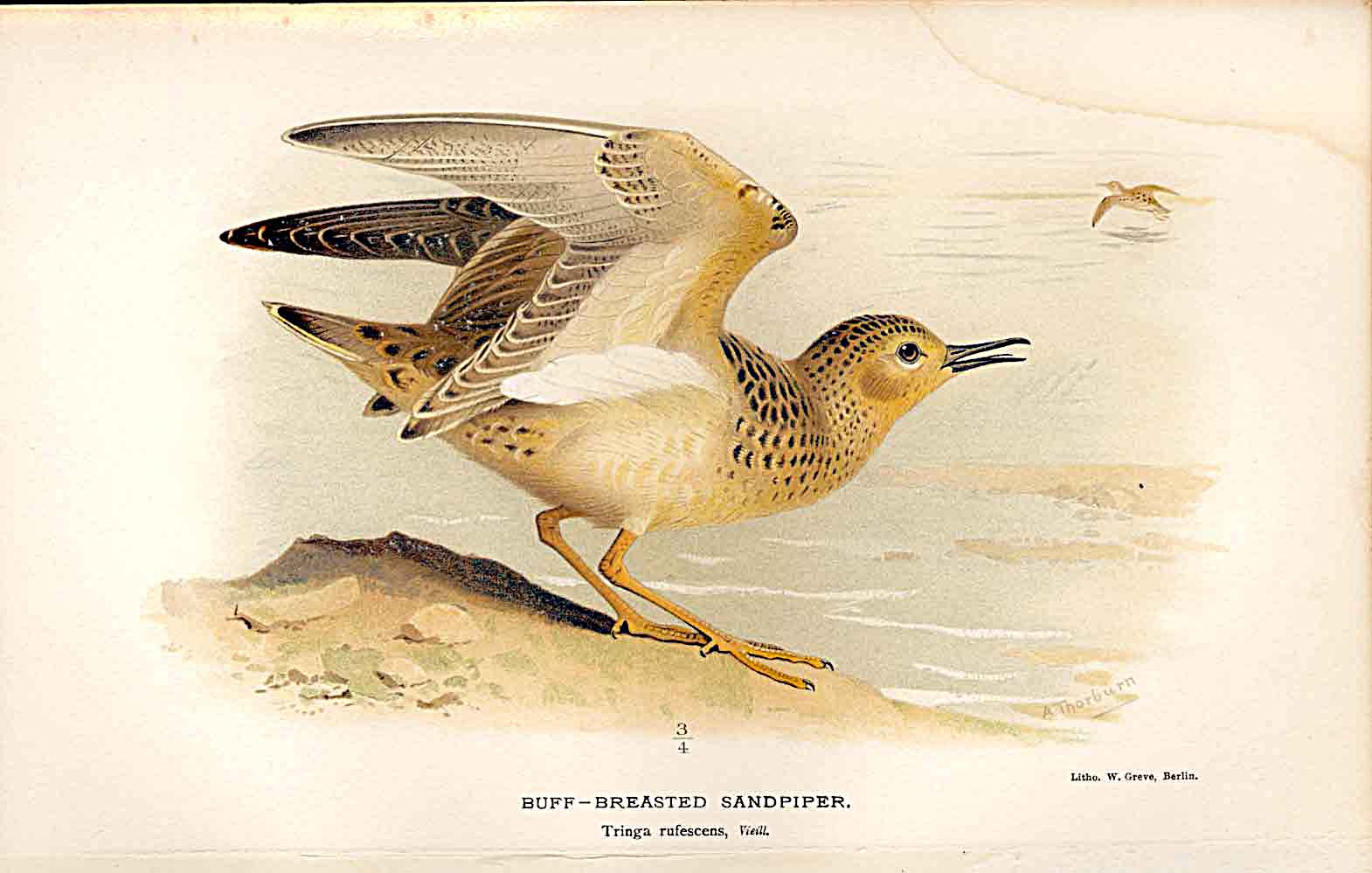 Print Buff Breasted Sandpiper By Thorburn Birds 1855-97 449011 Old Original