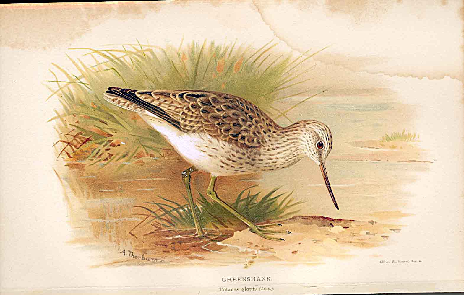Print Greenshank Lilfords Birds 1885-97 By A Thorburn 539011 Old Original