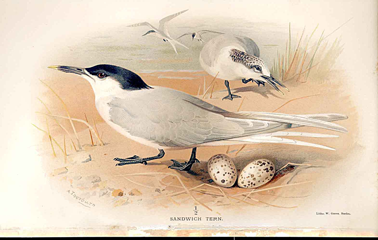 Print Sandwich Tern Lilfords Birds 1885-97 By A Thorburn 059011 Old Original