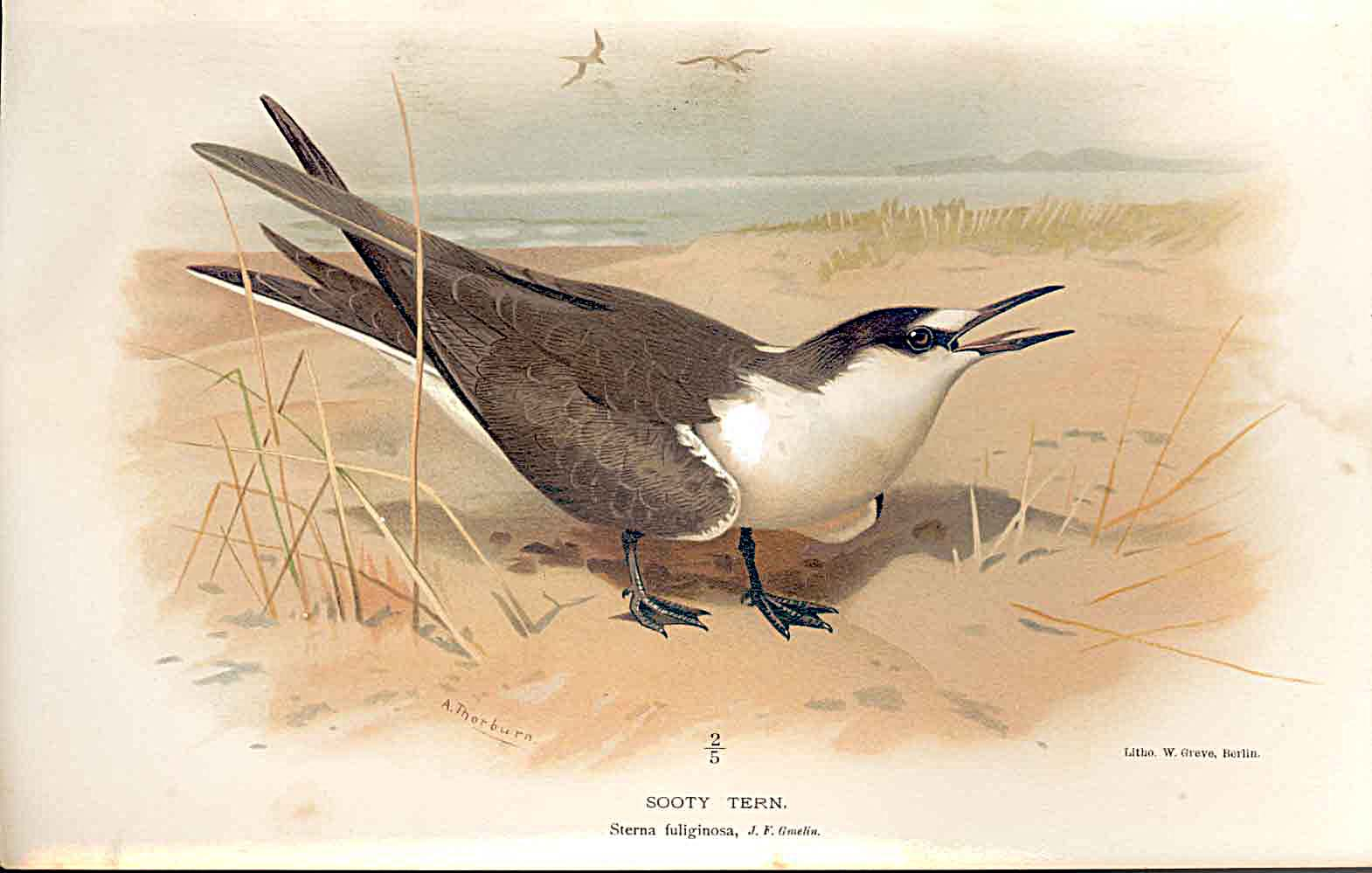 Print Sooty Tern Lilfords Birds 1885-97 By A Thorburn 109011 Old Original