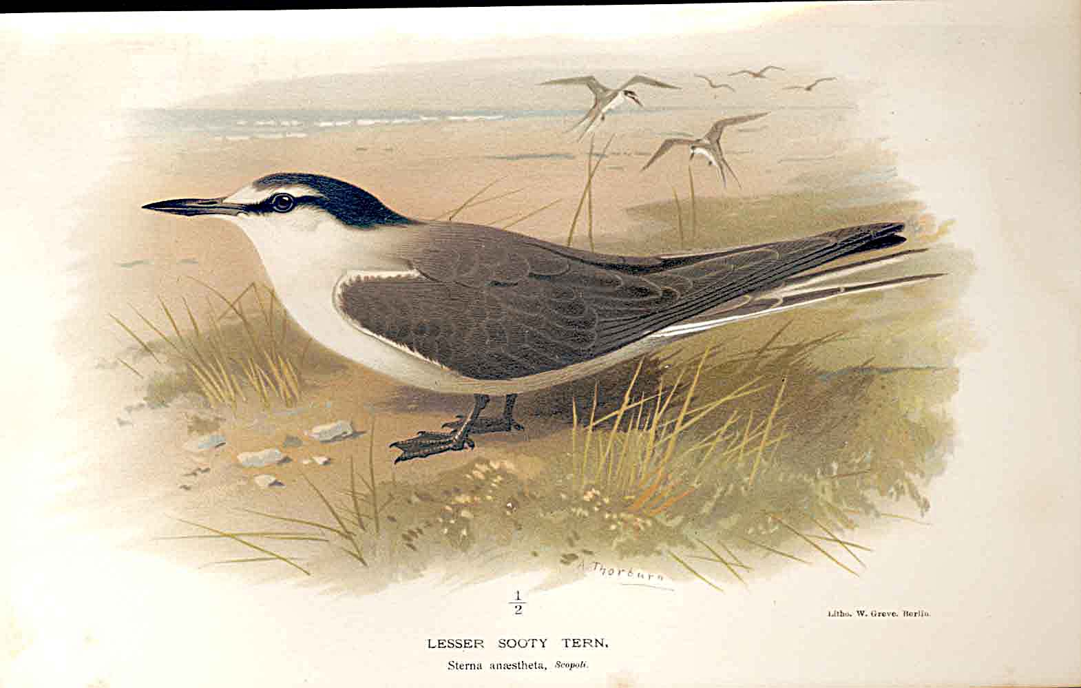 Print Lesser Sooty Tern Lilfords Birds 1885-97 By A Thorburn 119011 Old Original