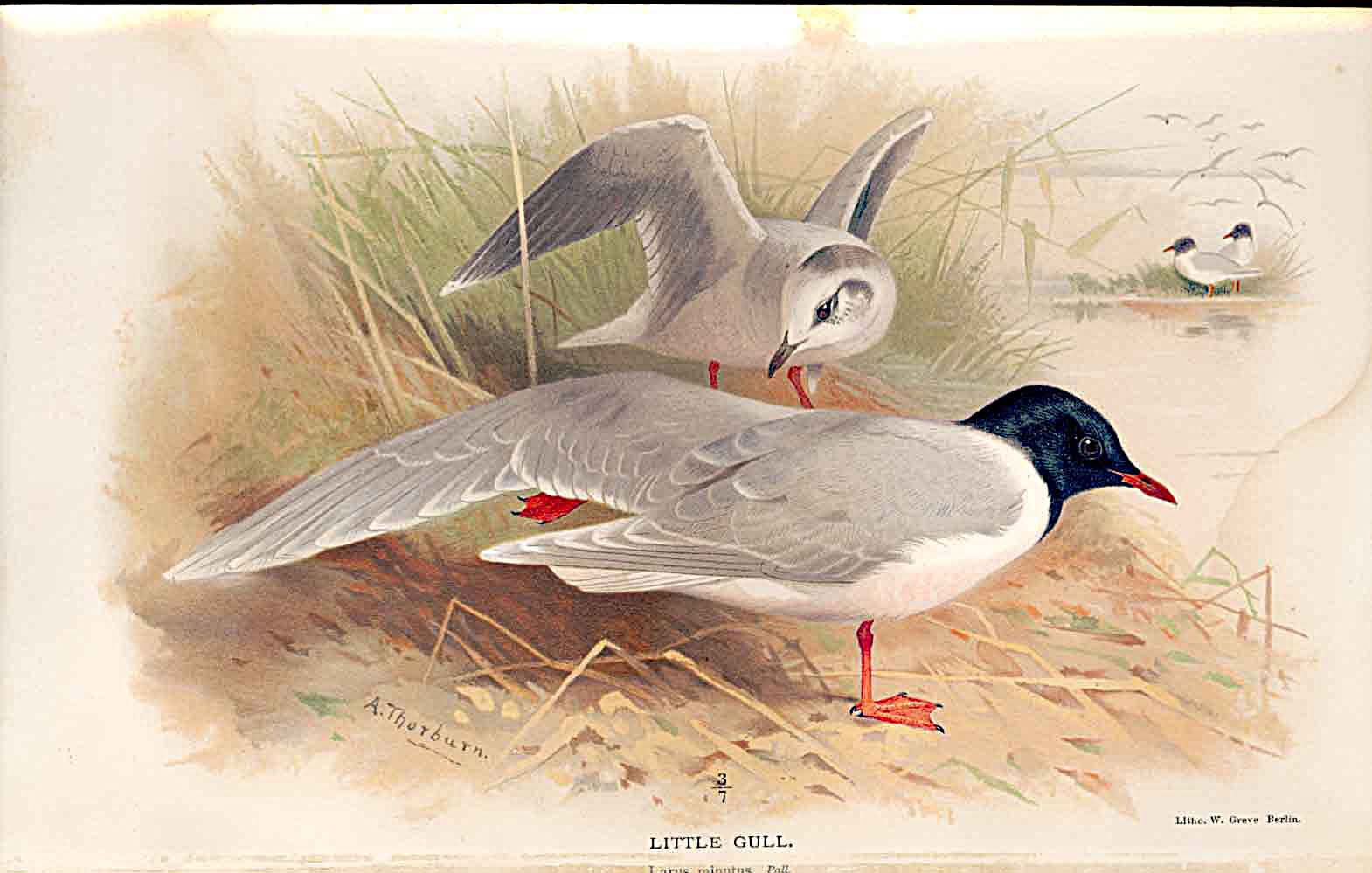 Print Little Gull Lilfords Birds 1885-97 By A Thorburn 169011 Old Original