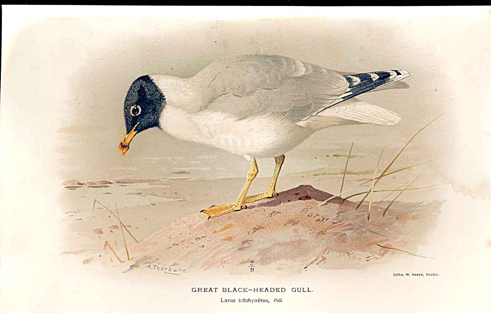 Print Great Black Headed Gull By Thorburn Birds 1855-97 199011 Old Original