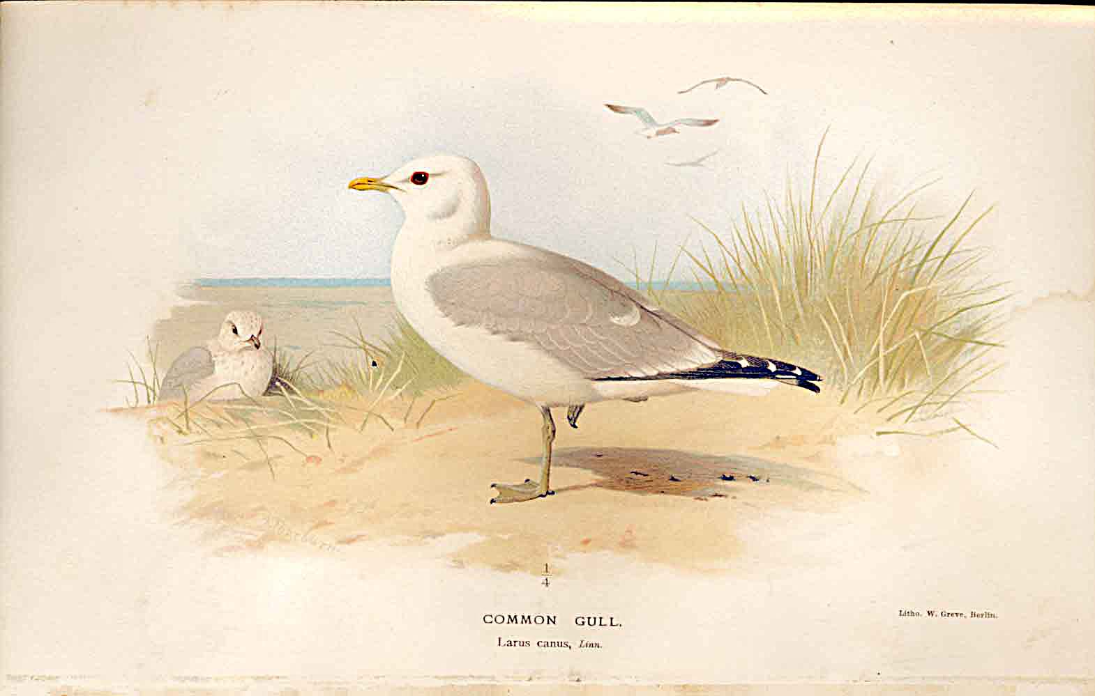 Print Common Gull Lilfords Birds 1885-97 By A Thorburn 209011 Old Original