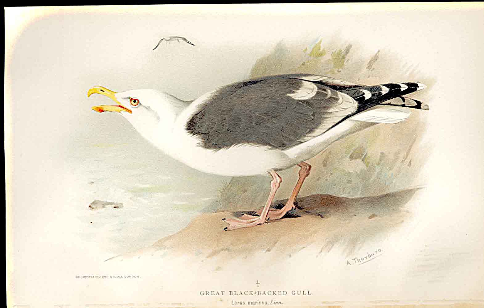 Print Great Black Backed Gull By Thorburn Birds 1855-97 239011 Old Original