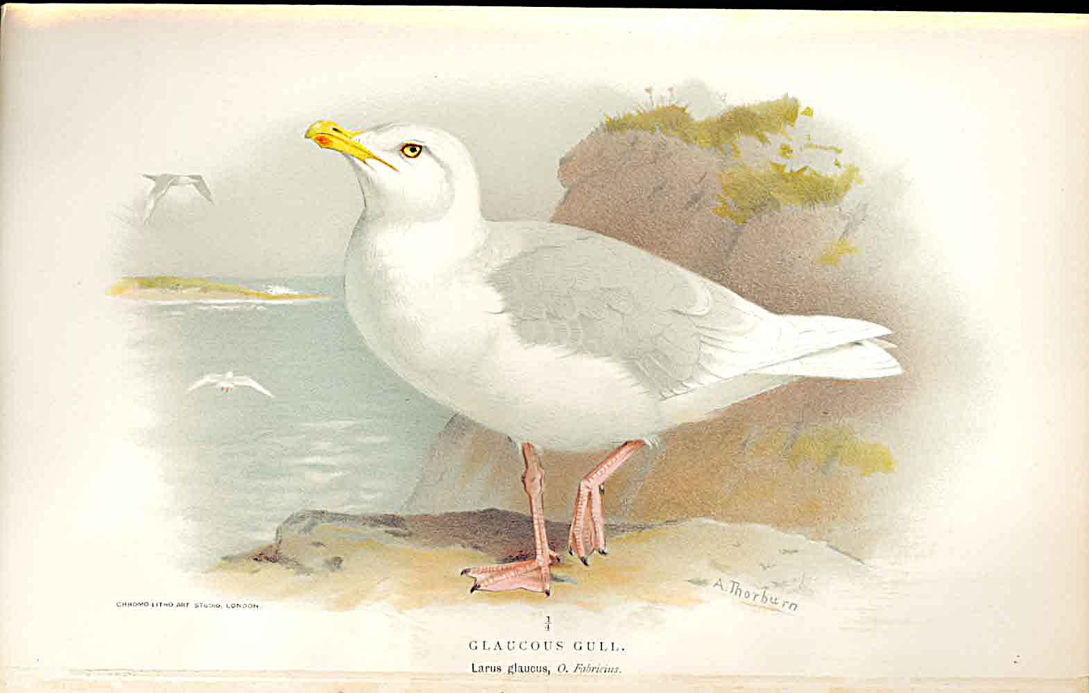 Print Glaucous Gull Lilfords Birds 1885-97 By A Thorburn 249011 Old Original