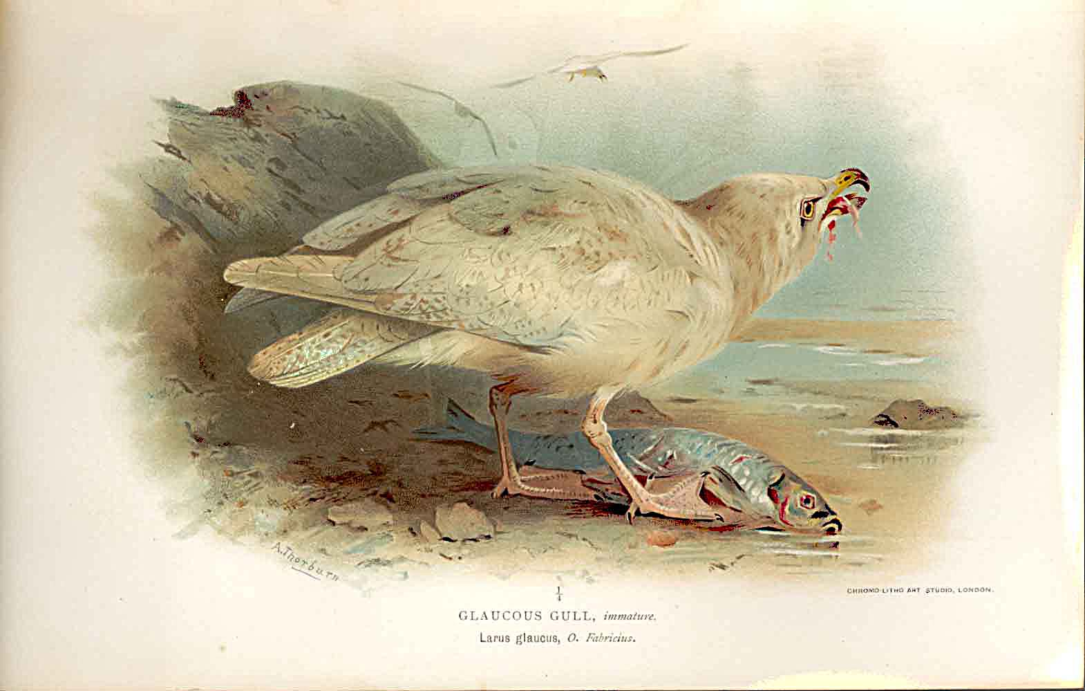 Print Glaucous Gull *2 Lilfords Birds 1885-97 By A Thorburn 259011 Old Original