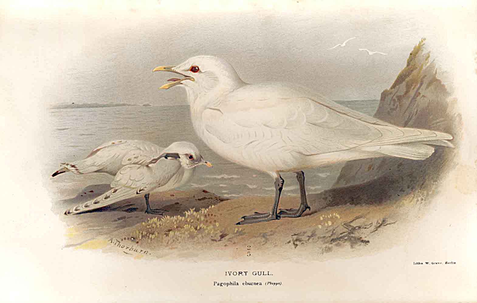 Print Ivory Gull Lilfords Birds 1885-97 By A Thorburn 289011 Old Original