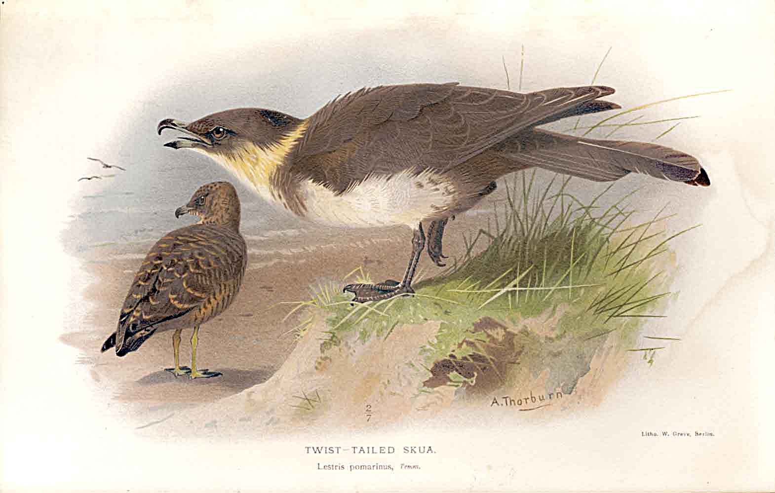 Print Twist Tail Skua *2 Lilfords Birds 1885-97 By A Thorburn 319011 Old Original