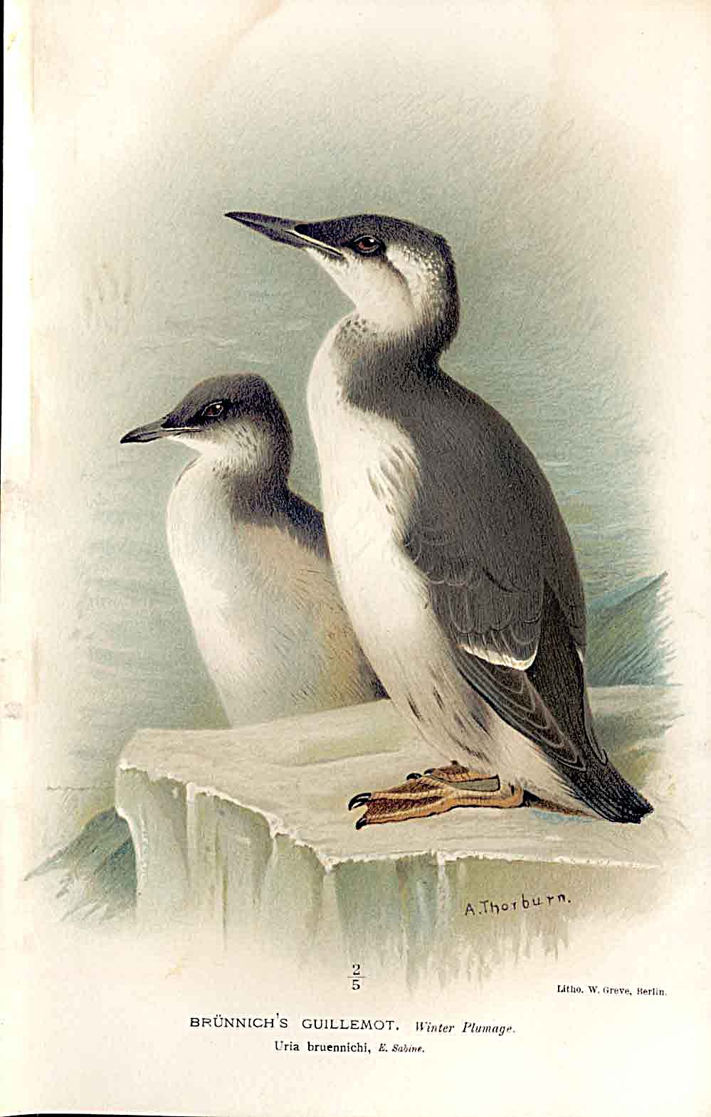 Print Brunnich'S Guillemot *2 By Thorburn Birds 1855-97 389011 Old Original