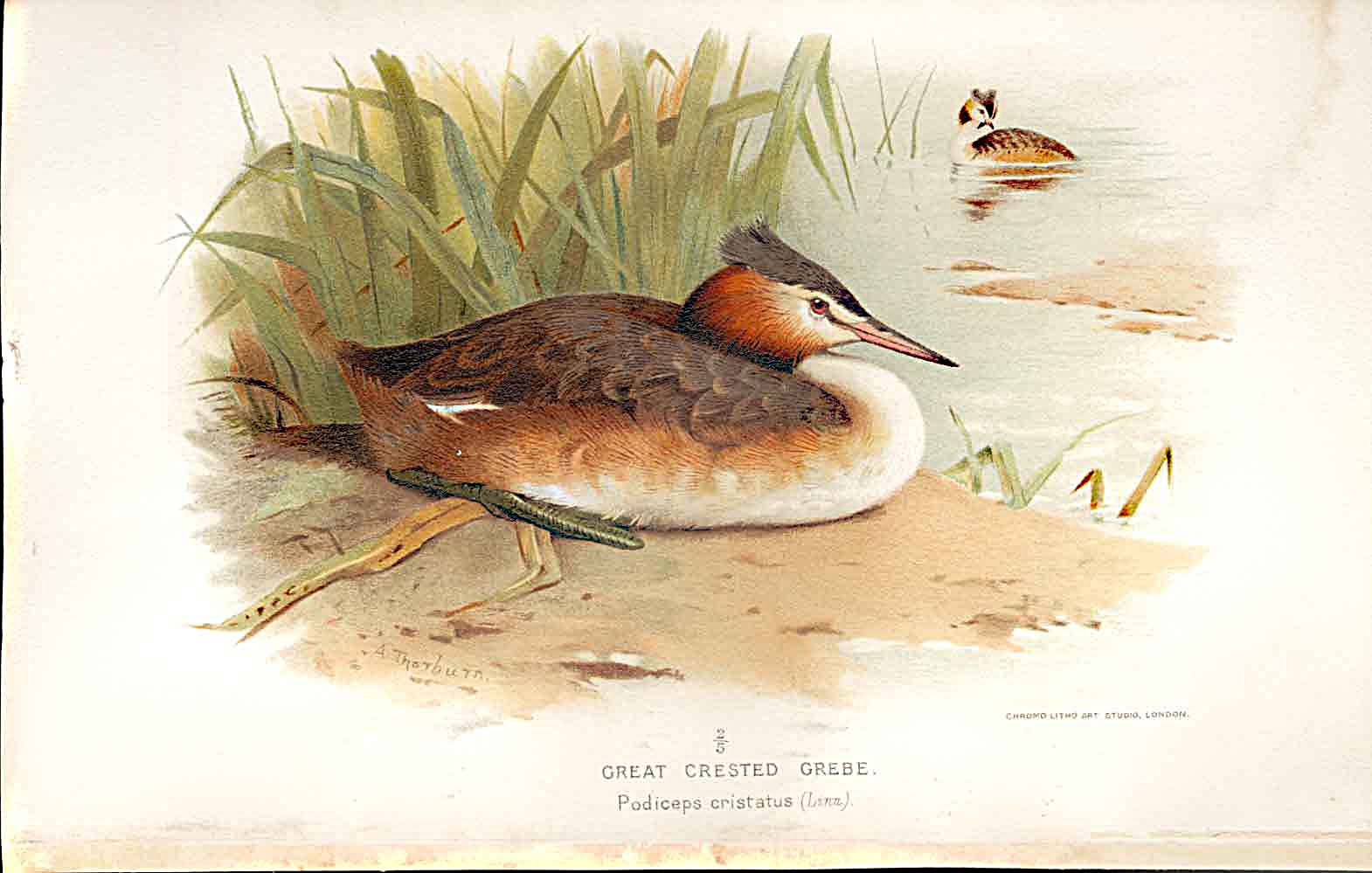 Print Great Crested Grebe By Thorburn Birds 1855-97 469011 Old Original