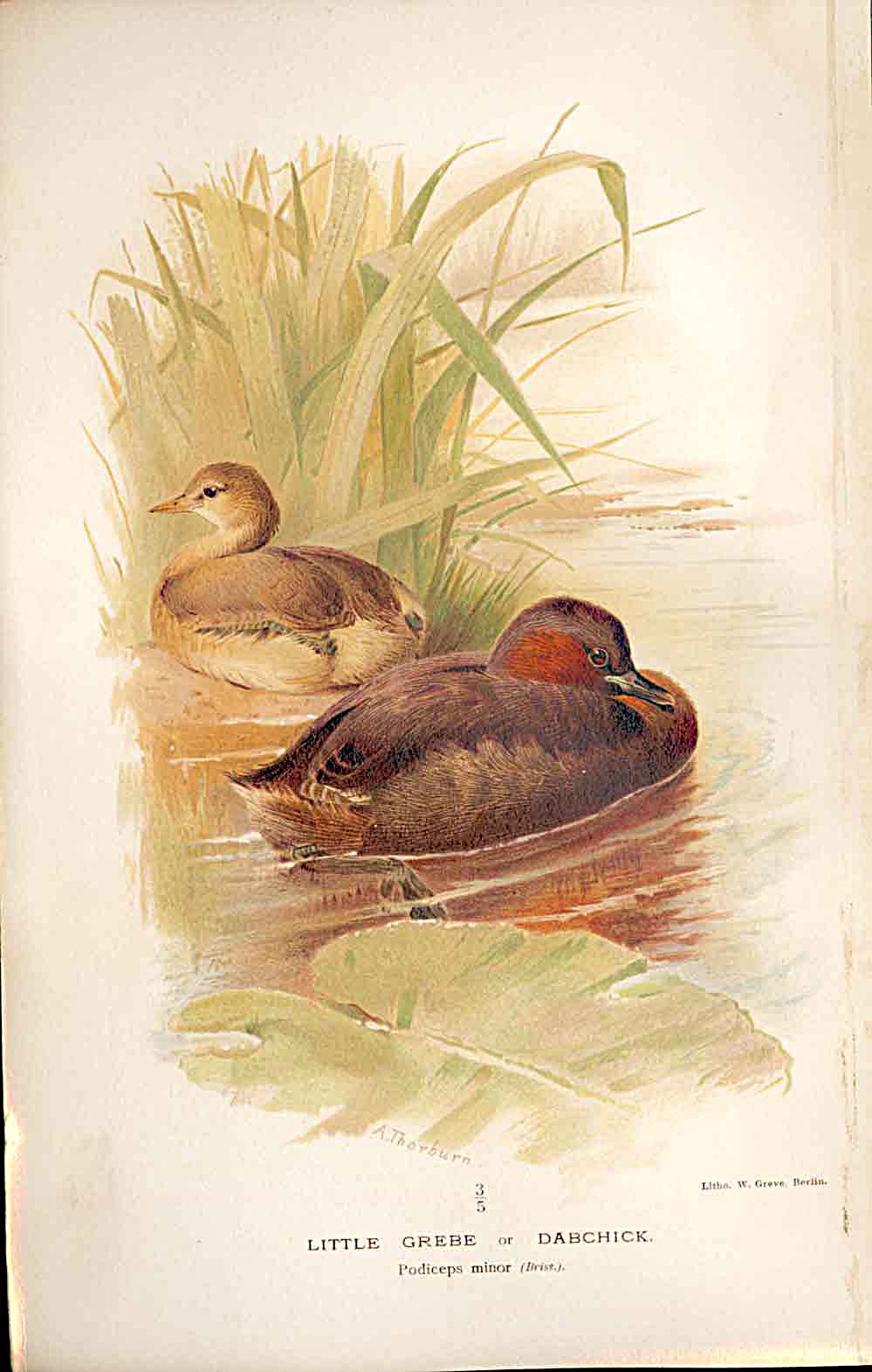 Print Little Grebe Or Dabchick By Thorburn Birds 1855-97 509011 Old Original