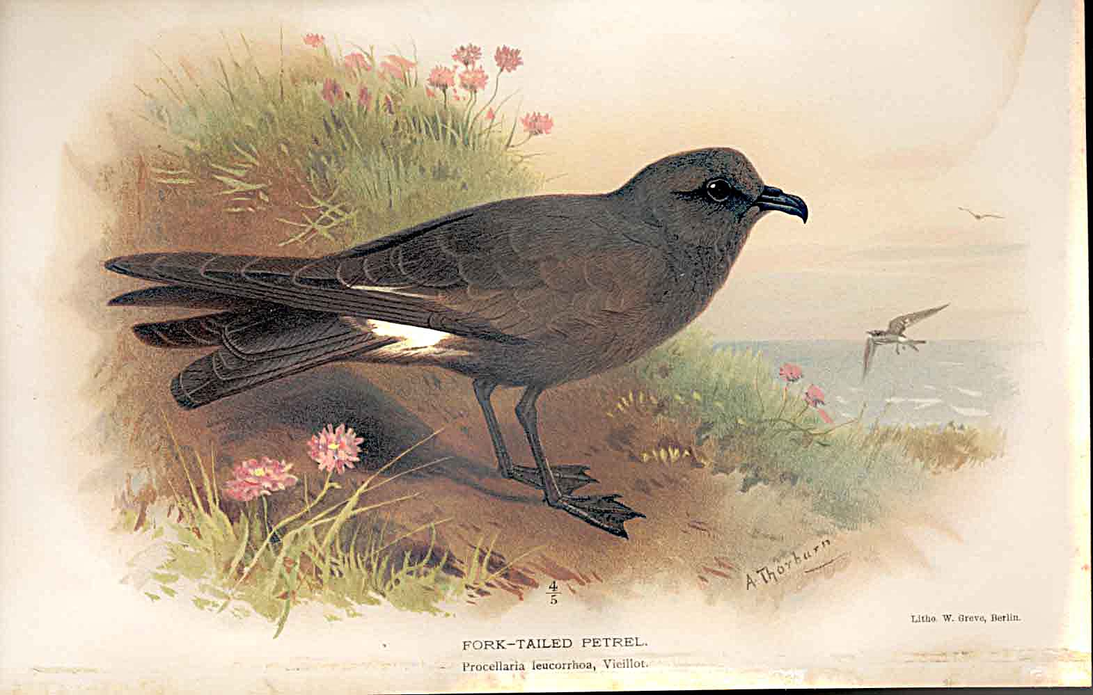 Print Forked Tailed Petrel By Thorburn Birds 1855-97 529011 Old Original