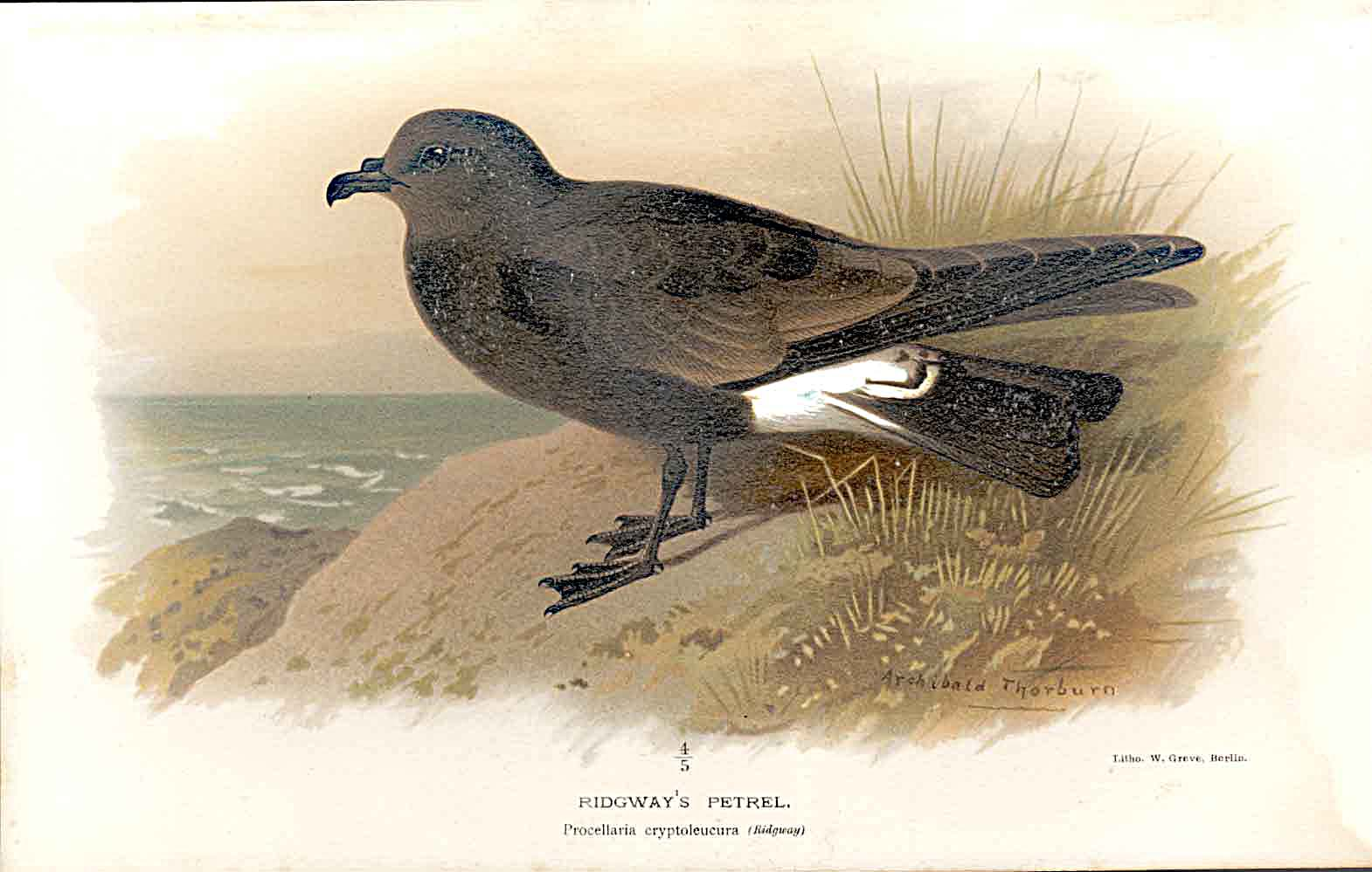 Print Ridgway'S Petrel Lilfords Birds 1885-97 By A Thorburn 539011 Old Original