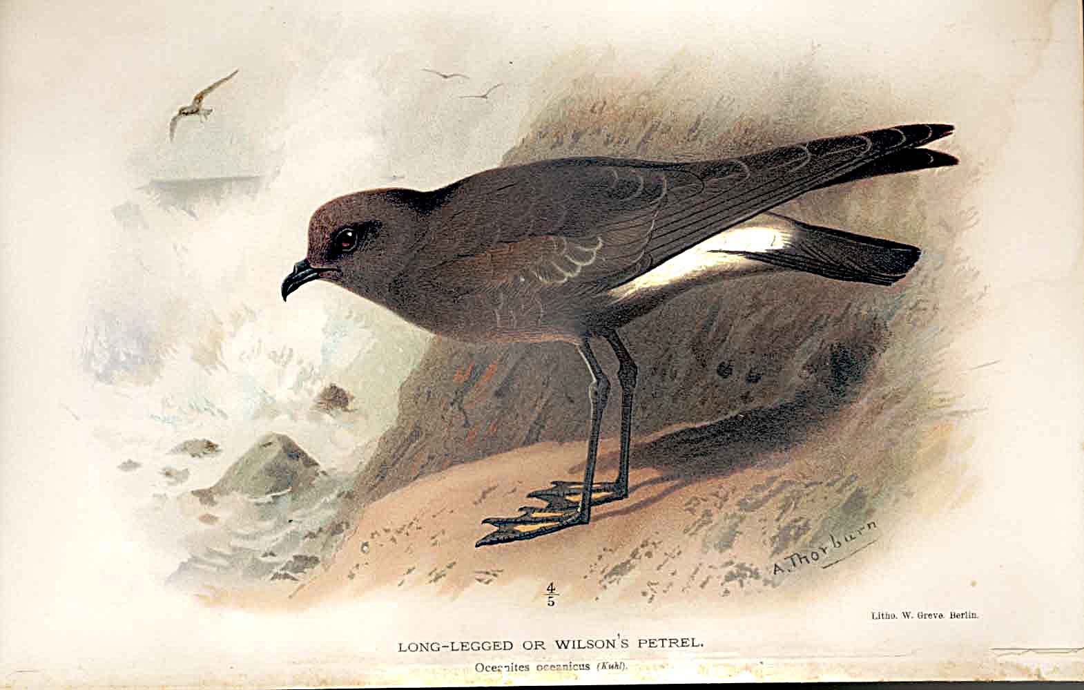 Print Long Legged Or Wilson'S Petrel By Thorburn Bird 1855-97 549011 Old Original