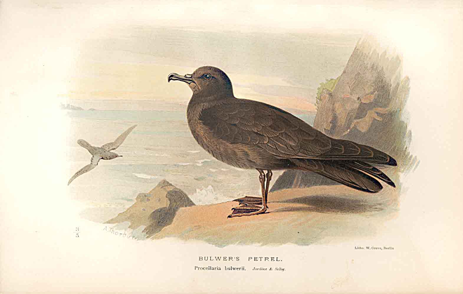 Print Bulwer'S Petrel Lilfords Birds 1885-97 By A Thorburn 609011 Old Original