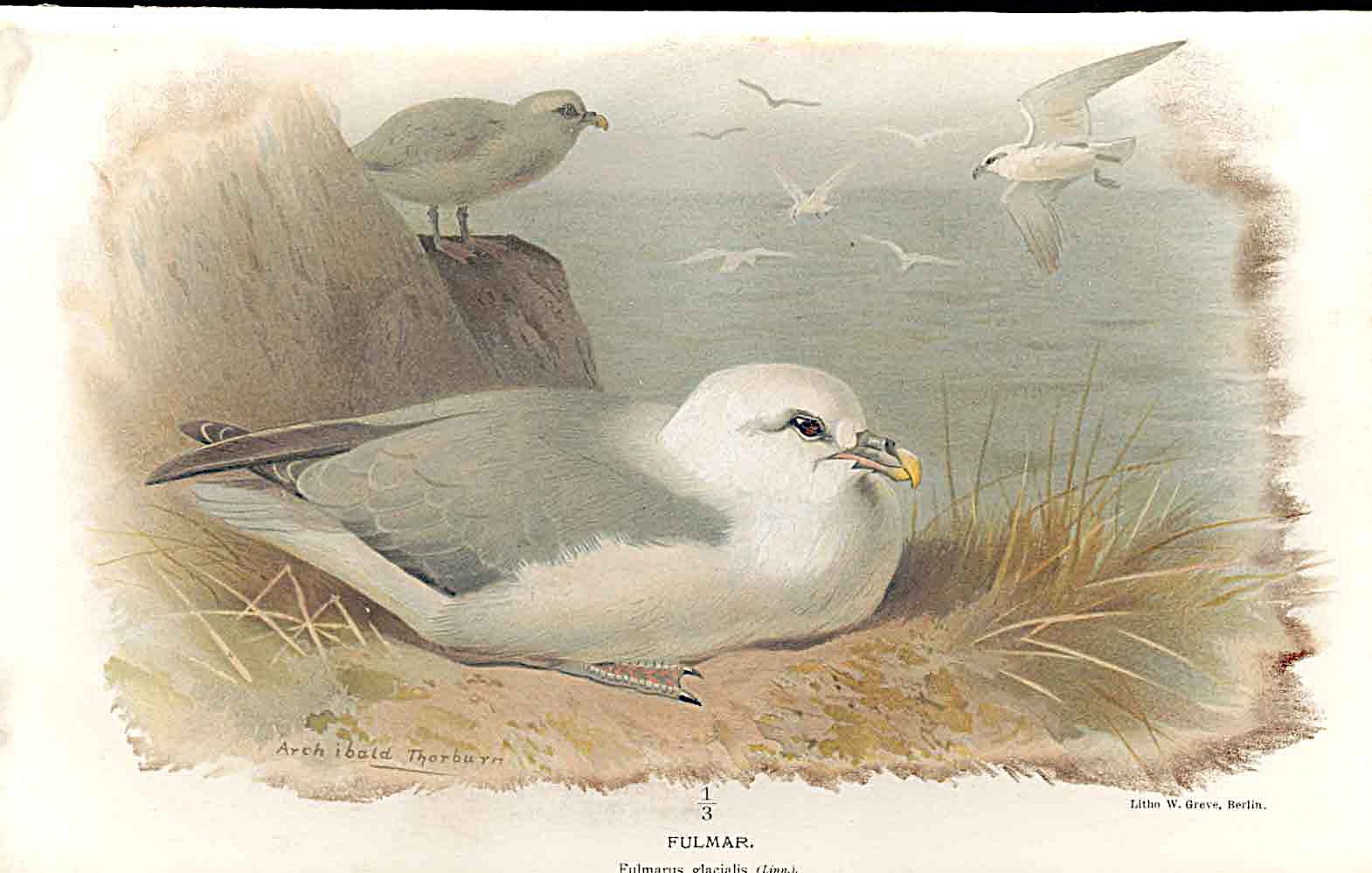 Print Filmar Lilfords Birds 1885-97 By A Thorburn 639011 Old Original