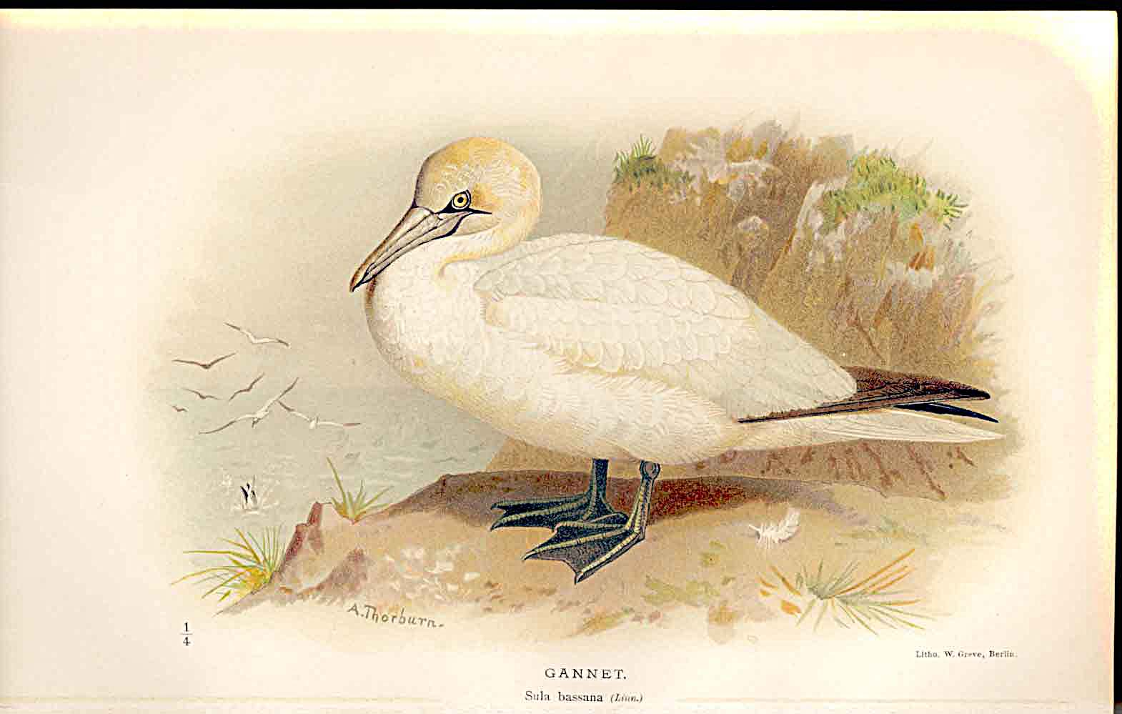 Print Gannet Lilfords Birds 1885-97 By A Thorburn 039011 Old Original