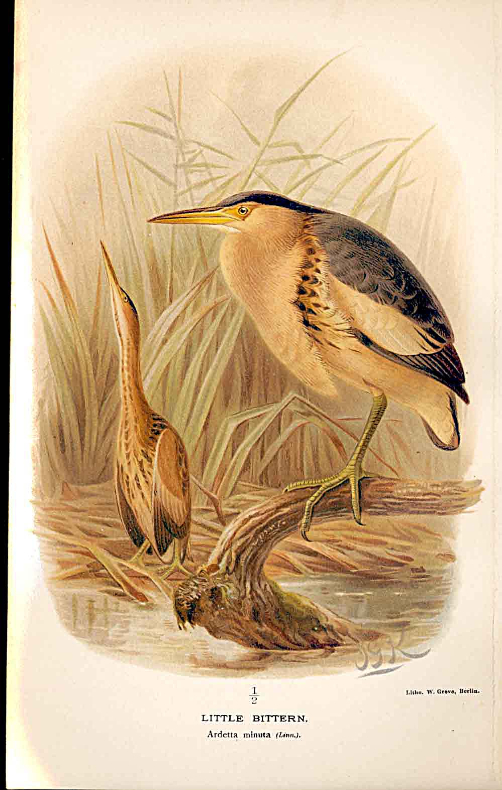 Print Little Bittern Lilford Birds 1885-97 By J G Keulemans 129011 Old Original