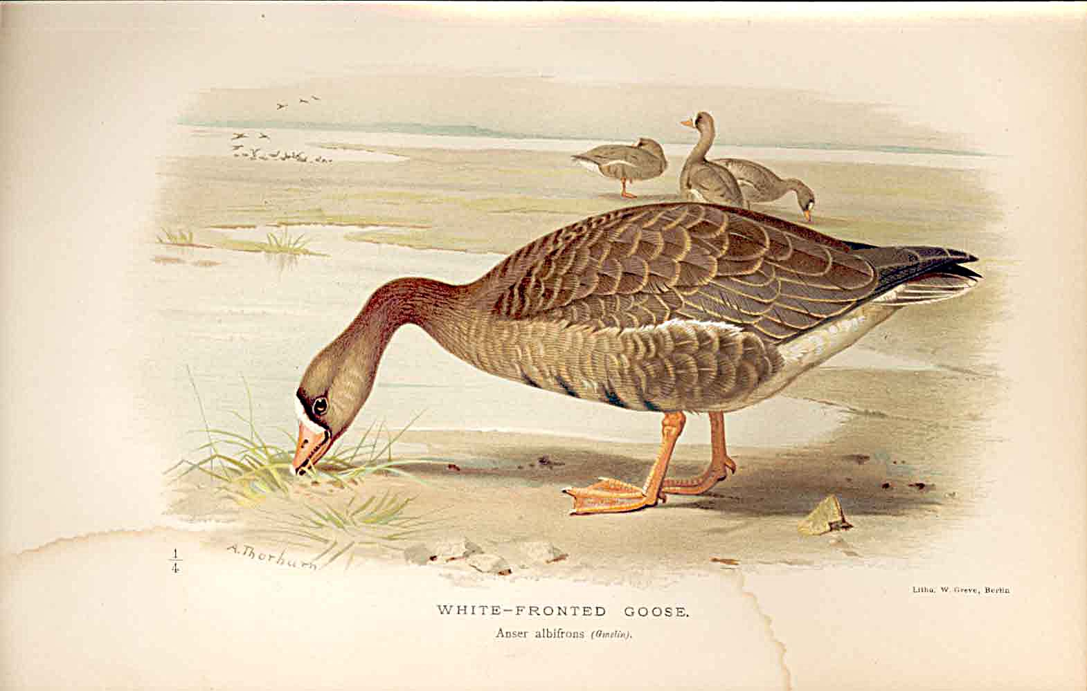 Print White Fronted Goose By Thorburn Birds 1855-97 219011 Old Original