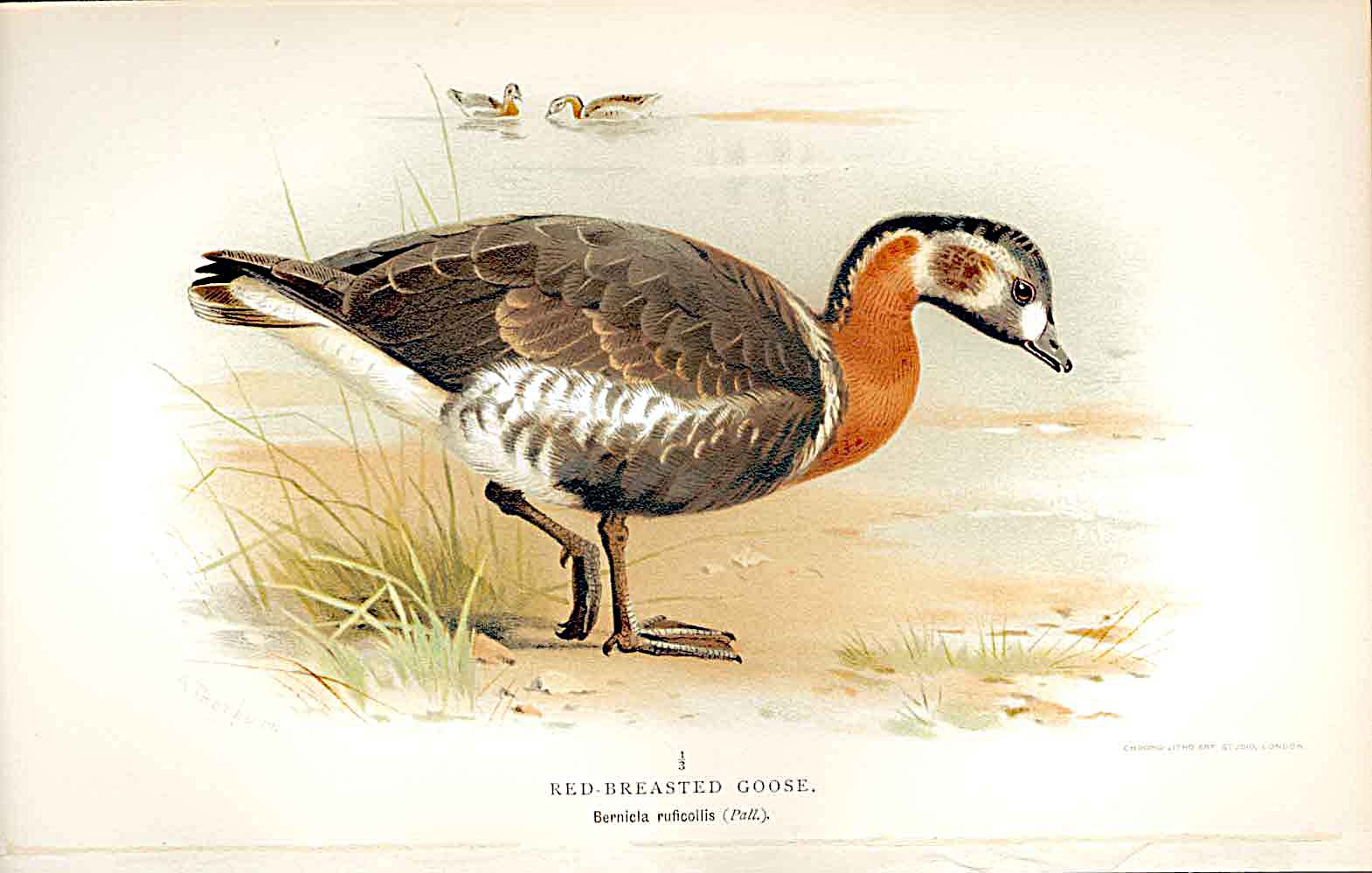 Print Red Breastedgoose Lilfords Birds 1885-97 By A Thorburn 259011 Old Original