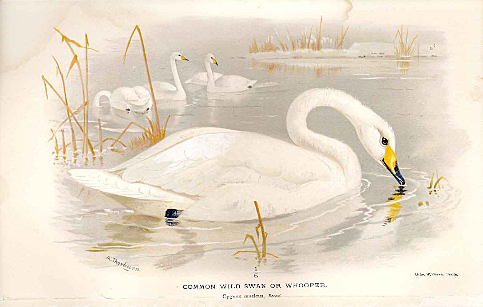 Print Common Wild Swan Or Whooper By Thorburn Birds 1855-97 299011 Old Original