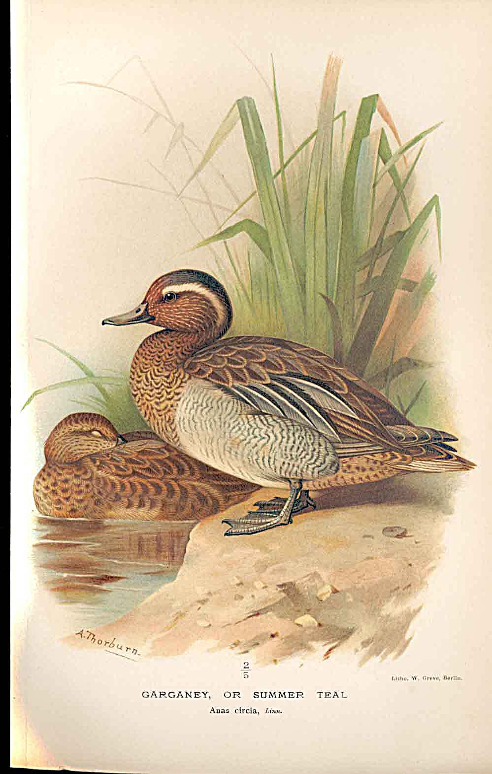 Print Garganey Or Summer Teal By Thorburn Birds 1855-97 399011 Old Original
