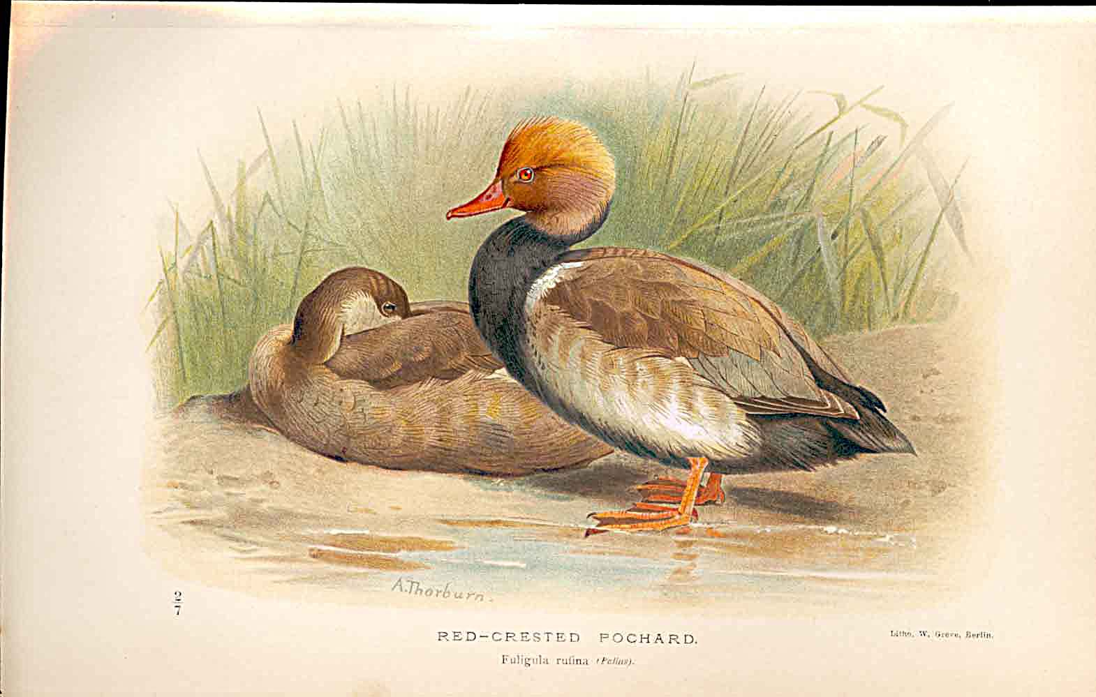 Print Red Crested Pochard By Thorburn Birds 1855-97 439011 Old Original
