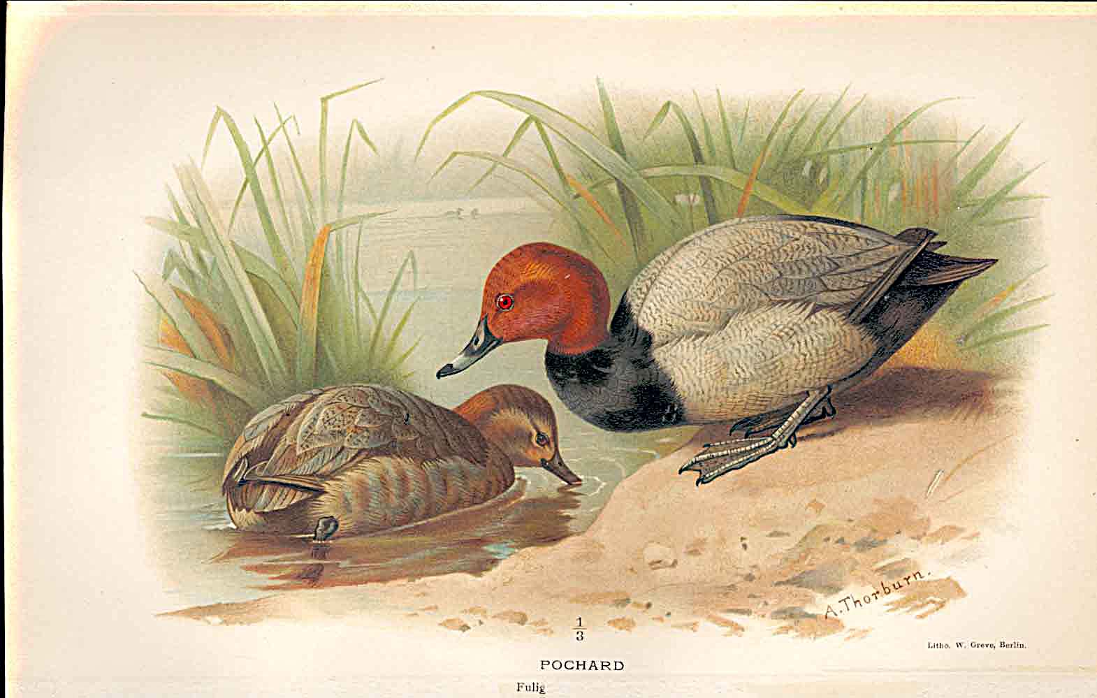 Print Pochard Lilfords Birds 1885-97 By A Thorburn 449011 Old Original
