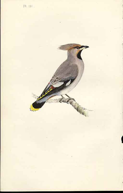 Print Bohemian Chatterer Meyer H/C Birds 1842-50 219101 Old Original
