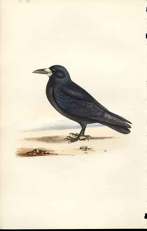 Print Rook Meyer H/C Birds 1842-50 279101 Old Original