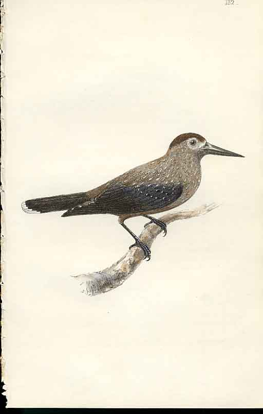 Print Nutcracker Meyer H/C Birds 1842-50 329101 Old Original