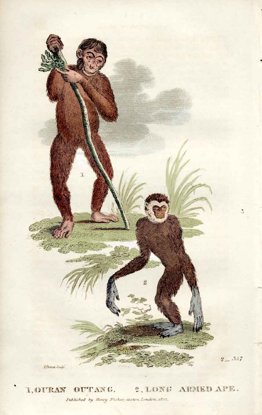 Print Ouran Outang & Long Arm Ape Goldsmith 1861 H/C Mammals 149121 Old Original