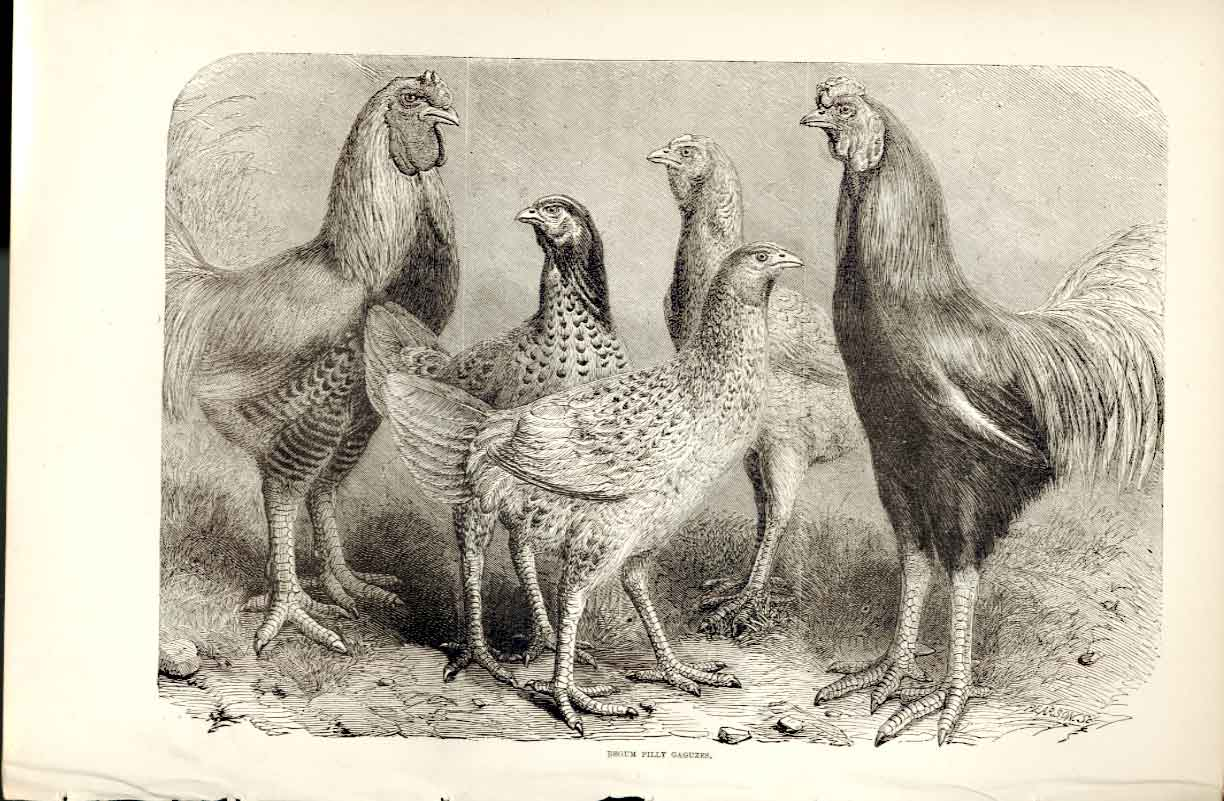 Print Begum Pilly Gaguzes Poultry Weir 1867 Bir 519141 Old Original