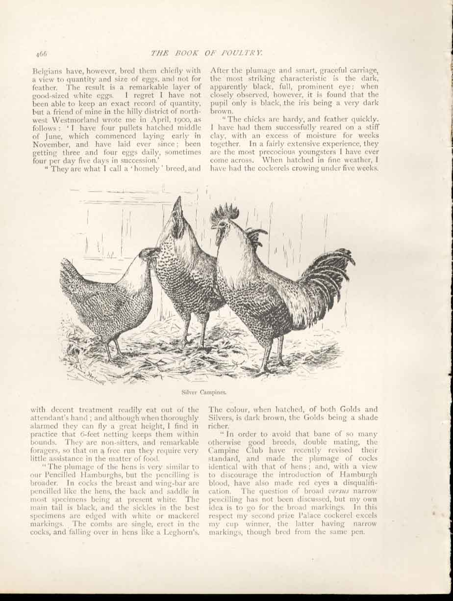 Print Silver Campines Poultry Ludlow 1902 Birds 669151 Old Original