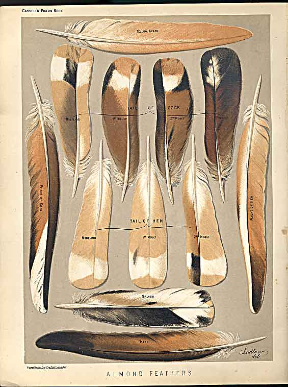 Print Almond Feathers Pigeons C1880 Fulton 399171 Old Original
